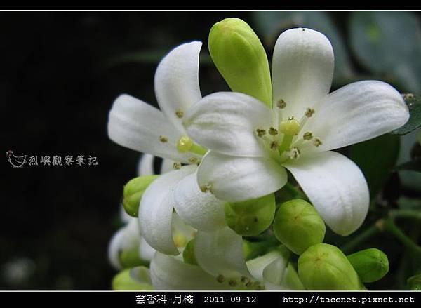 芸香科-月橘 _08.jpg