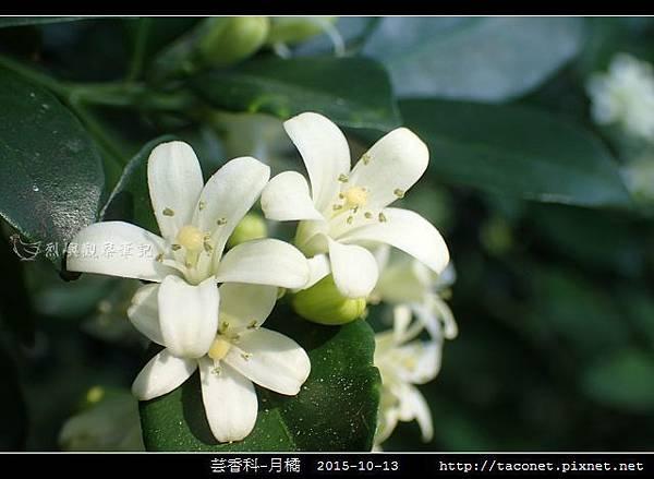 芸香科-月橘 _10.jpg