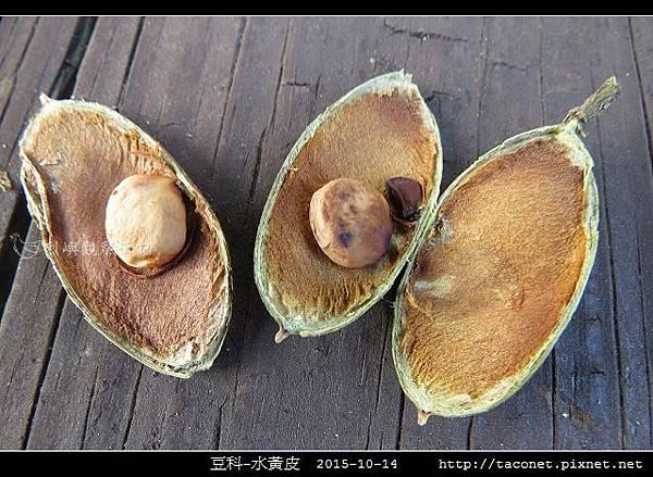 豆科-水黃皮_09.jpg