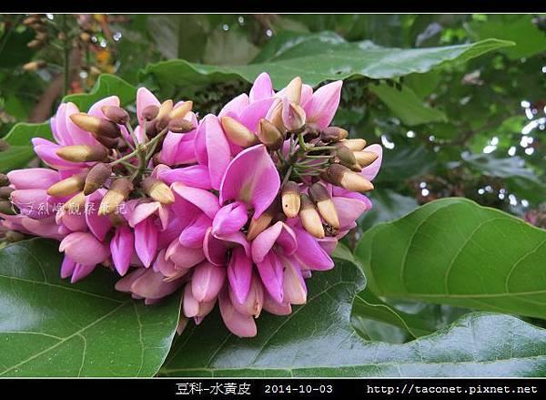 豆科-水黃皮_12.jpg