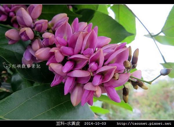 豆科-水黃皮_13.jpg
