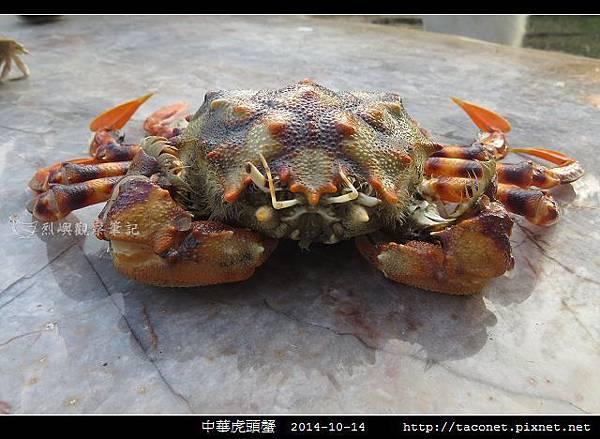 中華虎頭蟹_01.jpg