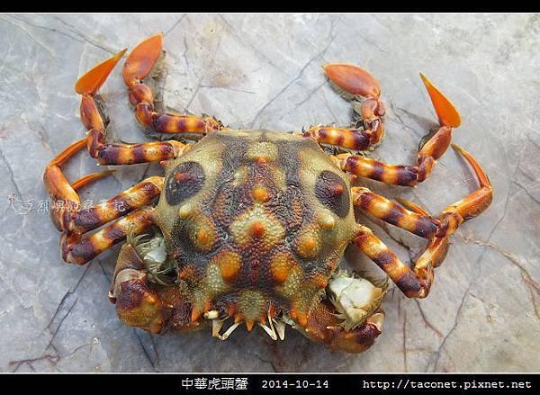 中華虎頭蟹_02.jpg