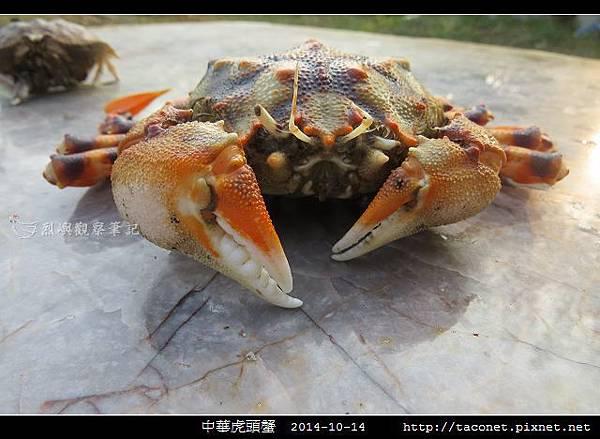 中華虎頭蟹_03.jpg