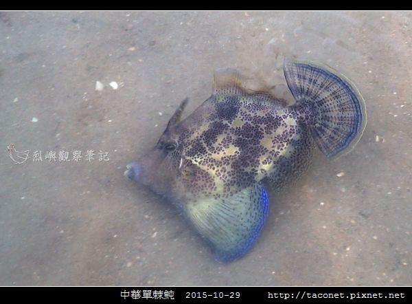中華單棘魨_03.jpg