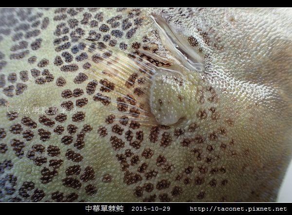 中華單棘魨_09.jpg
