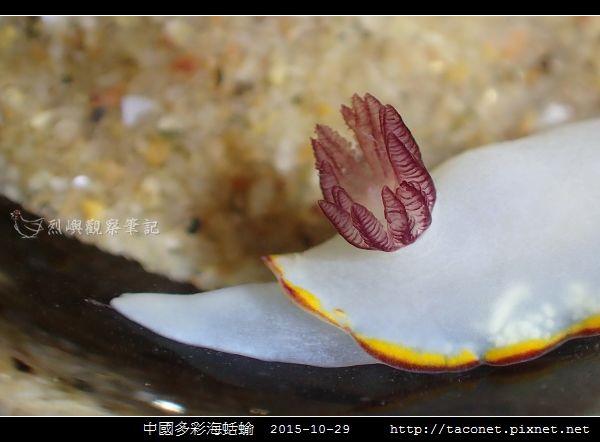 中國多彩海蛞蝓_03.jpg
