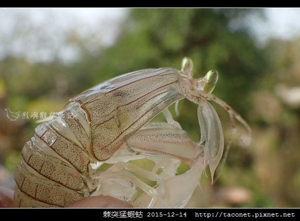 棘突猛蝦蛄_07.jpg