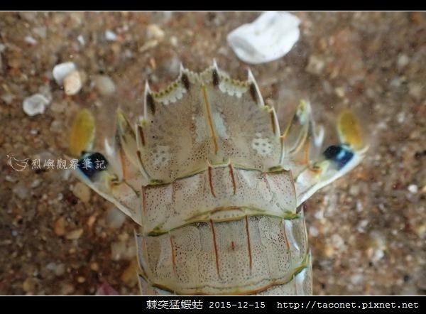棘突猛蝦蛄_10.jpg