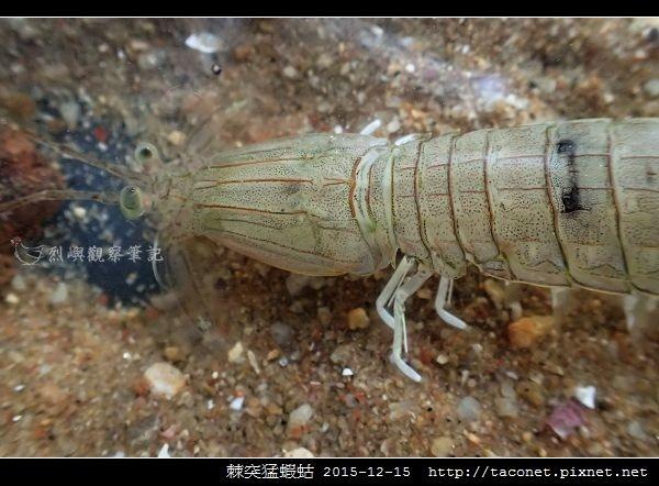 棘突猛蝦蛄_11.jpg