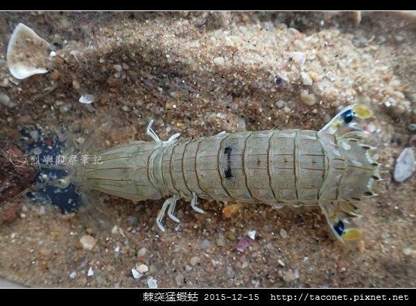 棘突猛蝦蛄_12.jpg