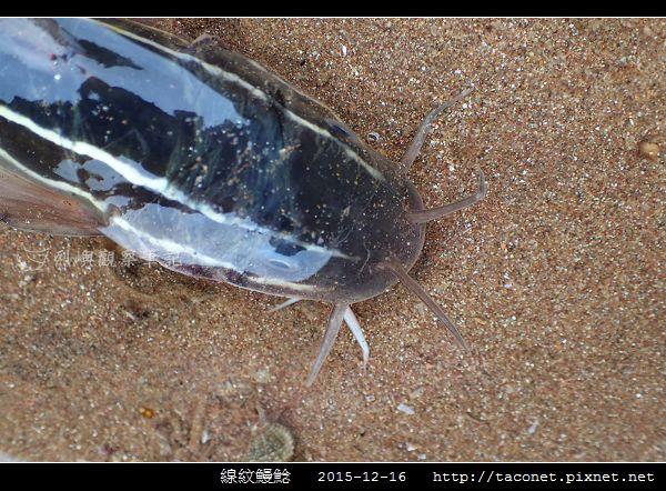 線紋鰻鯰_05.jpg