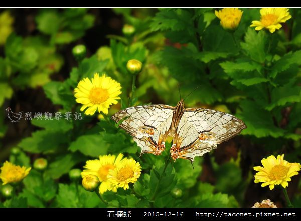 石牆蝶_02.jpg