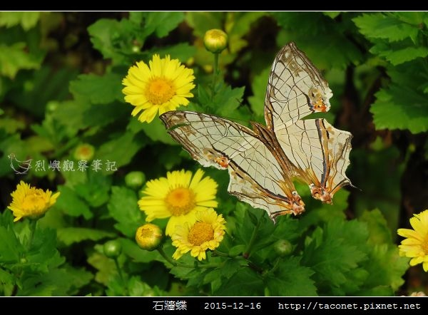 石牆蝶_04.jpg