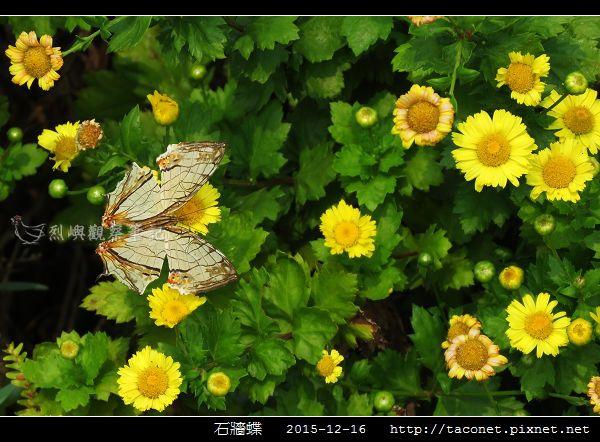 石牆蝶_08.jpg