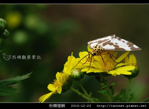 粉蝶燈蛾_06.jpg