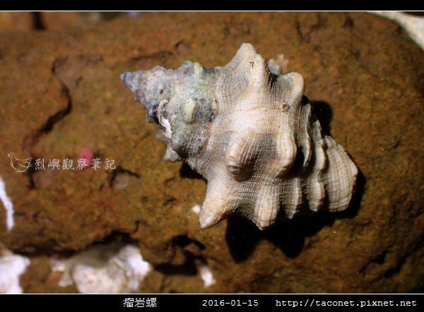 瘤岩螺_01.jpg