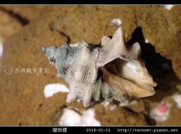 瘤岩螺_02.jpg
