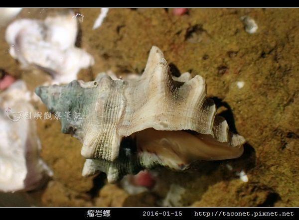 瘤岩螺_04.jpg