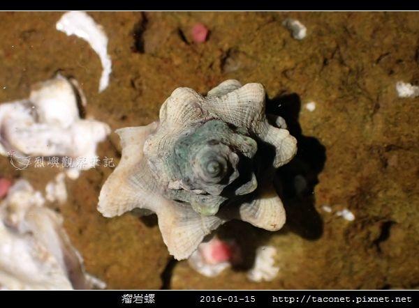 瘤岩螺_03.jpg