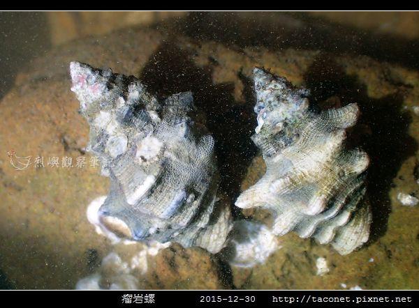 瘤岩螺_08.jpg