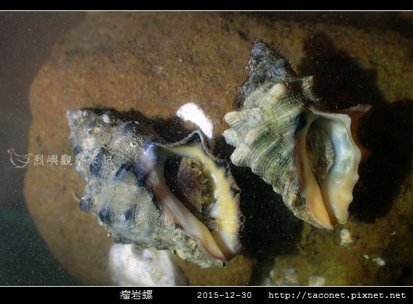 瘤岩螺_09.jpg