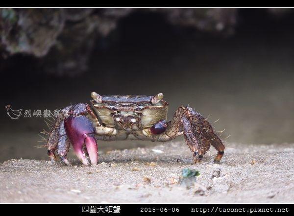 四齒大額蟹_03.jpg