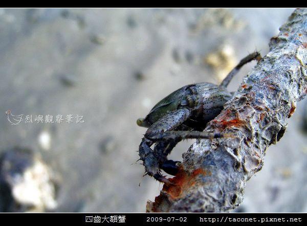 四齒大額蟹_13.jpg