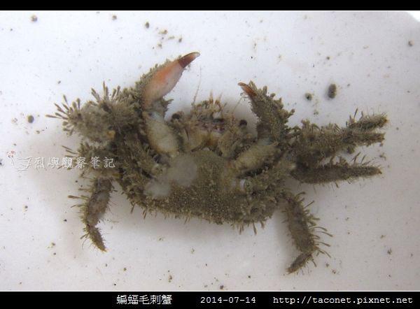 蝙蝠毛刺蟹_01.jpg