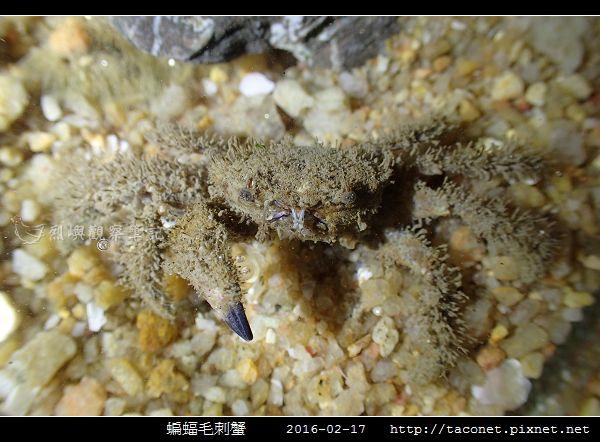 蝙蝠毛刺蟹_05.jpg