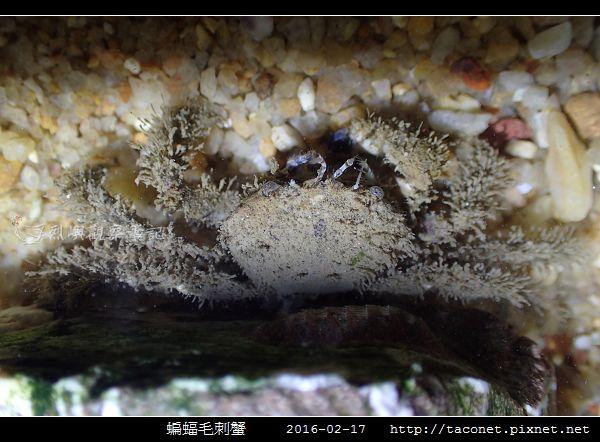 蝙蝠毛刺蟹_04.jpg
