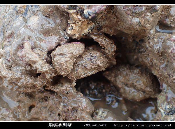 蝙蝠毛刺蟹_06.jpg