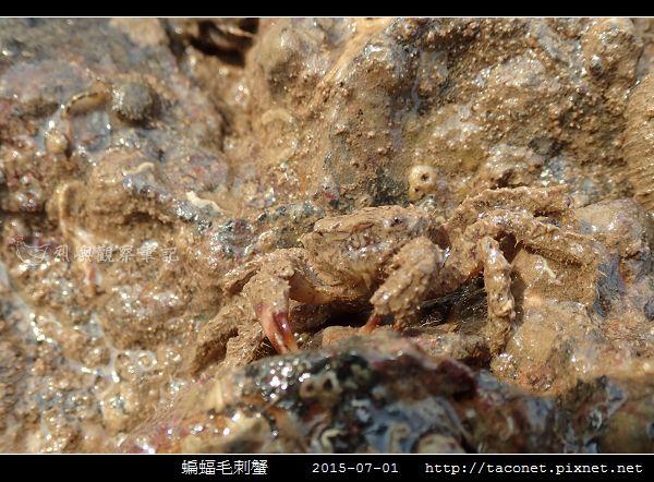 蝙蝠毛刺蟹_07.jpg