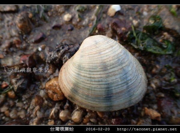 台灣環簾蛤_01.jpg