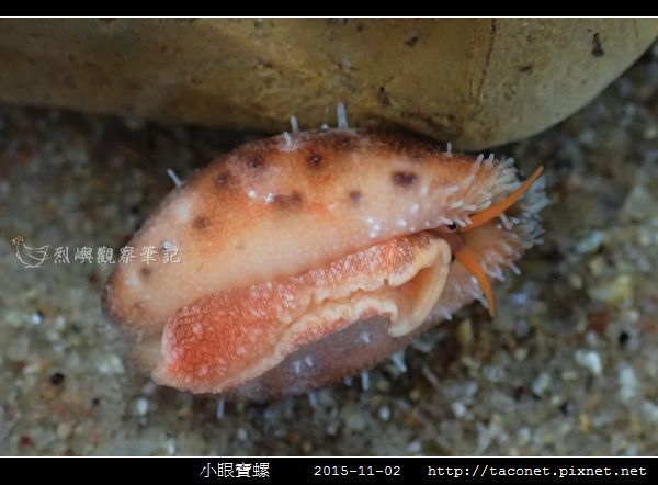 小眼寶螺_09.jpg