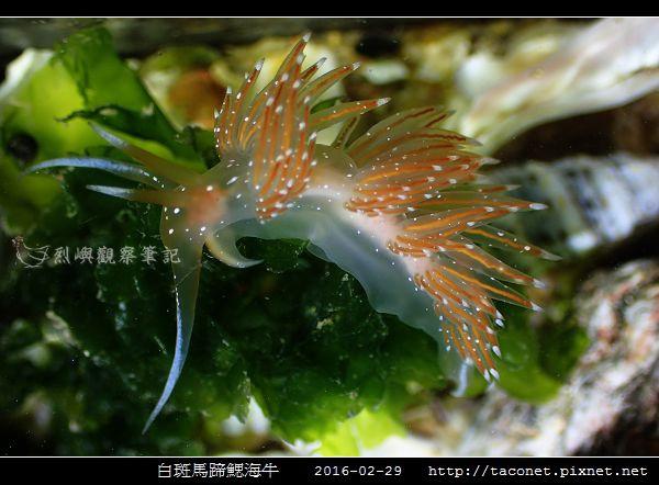 白斑馬蹄鰓海牛_03.jpg