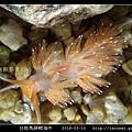 白斑馬蹄鰓海牛_08.jpg