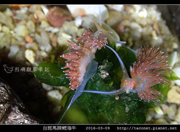 白斑馬蹄鰓海牛_07.jpg