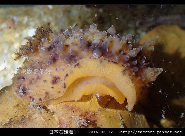 日本石磺海牛_06.jpg