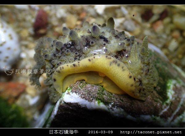 日本石磺海牛_07.jpg