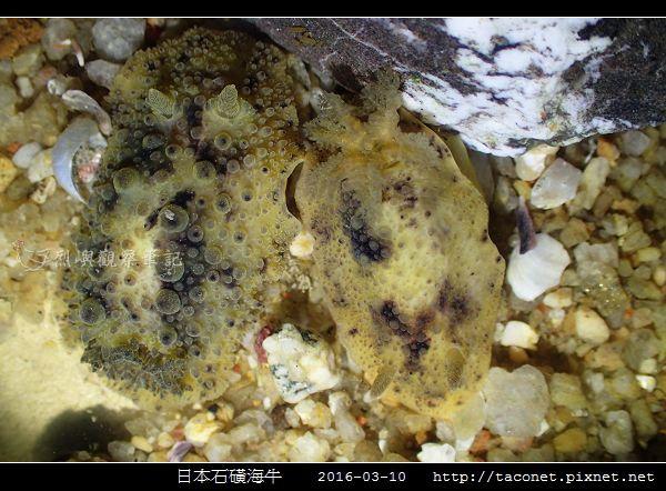 日本石磺海牛_08.jpg