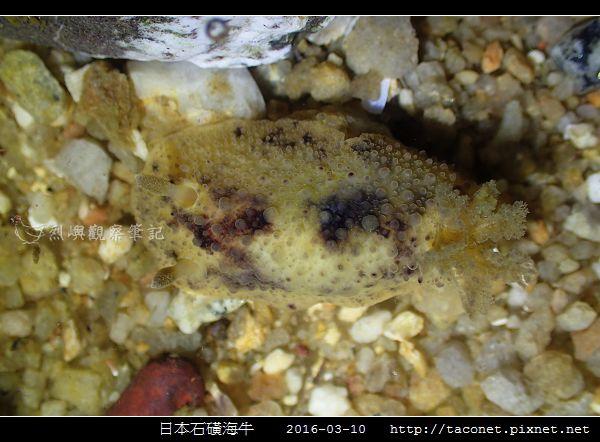 日本石磺海牛_11.jpg