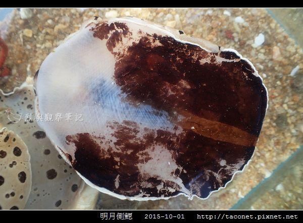 明月側鰓 Euselenops luniceps_01.jpg