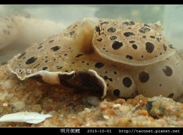 明月側鰓 Euselenops luniceps_08.jpg
