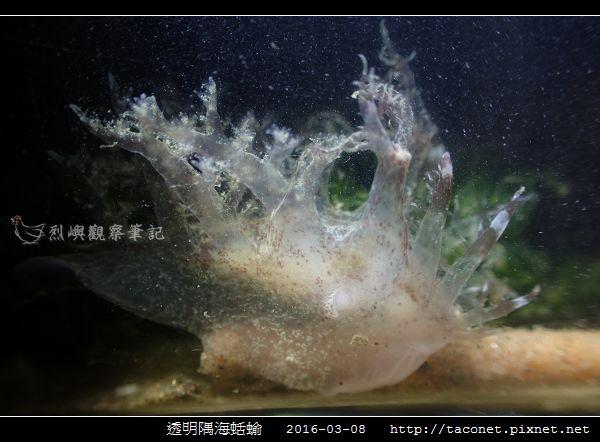 透明隅海蛞蝓 Okenia pellucida_01.jpg