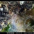 透明隅海蛞蝓 Okenia pellucida_04.jpg