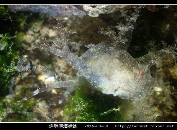 透明隅海蛞蝓 Okenia pellucida_09.jpg