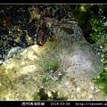 透明隅海蛞蝓 Okenia pellucida_12.jpg