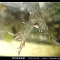 透明隅海蛞蝓 Okenia pellucida_13.jpg
