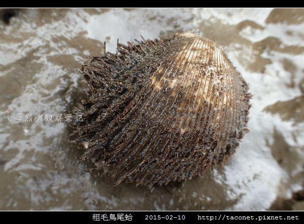 粗毛鳥尾蛤_01.jpg